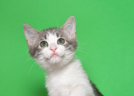 Portrait of and adorable white and gray tabby kitten looking above viewer to viewers right with curious expression. Green background with copy space