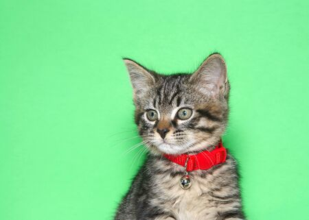 Retrato de un adorable gatito atigrado negro y gris diminuto con un collar rojo brillante con campana mirando a los espectadores a la izquierda. Fondo verde con espacio de copia.