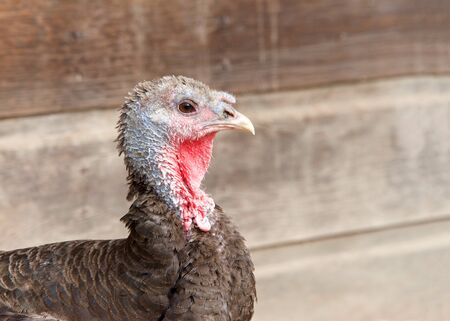 Profile close up of one turkey hen, old and tattered, in front of an old wood barn wall with copy space