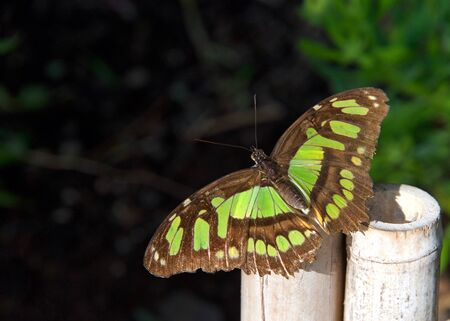 green and brown butterfly, Siproeta staleness, or Malachite Neotropical butterfly, on a bamboo wood fence in a garden Stok Fotoğraf