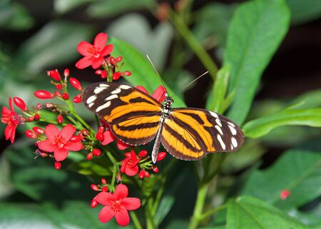 Heliconius hecale, the tiger longwing, Hecale longwing, golden longwing or golden heliconian butterfly, side view drinking nectar from small red flowers. Top view. 免版税图像
