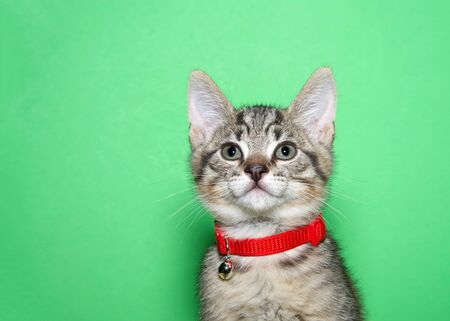 Portrait of an adorable brown and black tabby kitten wearing a red collar with bell looking directly at viewer. Green background with copy space.