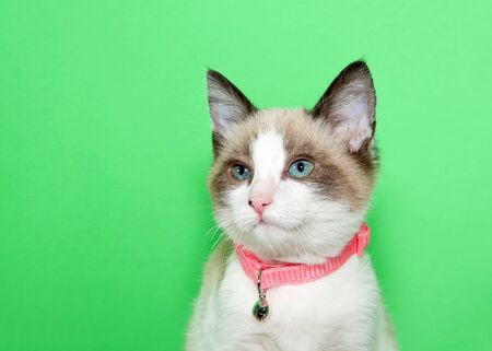 Portrait of an adorable white and tan kitten wearing a pink collar with bell looking to viewers left. Green background with copy space.