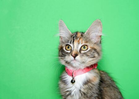 Portrait of an adorable calico kitten wearing a pink collar with bell looking slightly to viewers left. Green background with copy space.