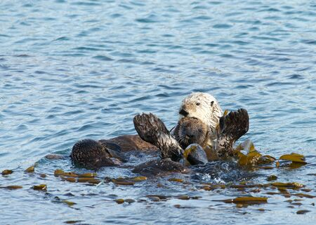 Mother Sea Otter with baby on stomach, grooming the baby. Females perform all tasks of feeding and raising offspring, and have occasionally been observed caring for orphaned pups. 写真素材