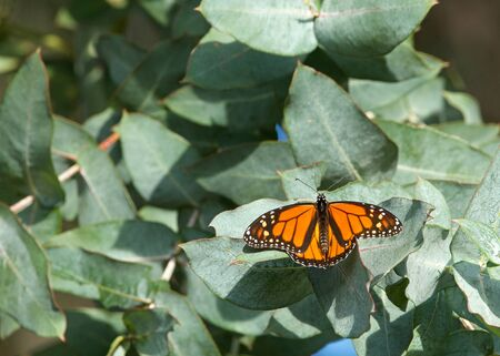 One Monarch butterfly with wings open resting in a Eucalyptus tree. Stock Photo