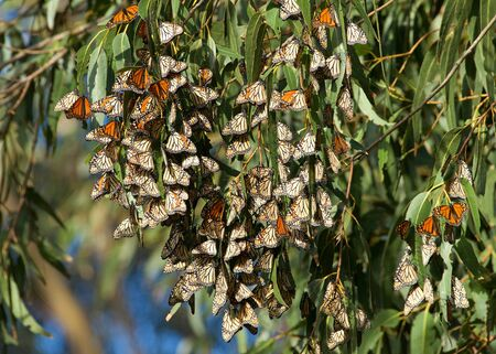 Monarch Butterflies in a Eucalyptus tree. The monarch butterfly may be the most familiar North American butterfly and an iconic pollinator species.
