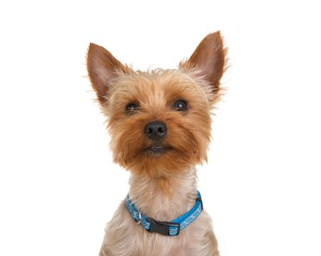 Portrait of an adorable Yorkshire Terrier wearing a generic blue collar looking directly at viewer. Isolated on white background.