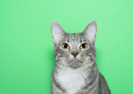 Portrait of an adorable grey and white tabby kitten looking directly at viewer with surprised wide eyed expression. Animal antics. Green background with copy space.