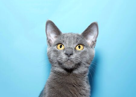 Portrait of an adorable blue grey kitten, Chartreux, with vibrant yellow eyes looking slightly above viewers. Blue background with copy space. Archivio Fotografico