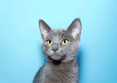 Portrait of an adorable blue grey kitten, Chartreux, with vibrant yellow eyes looking slightly to viewers left. Blue background with copy space.