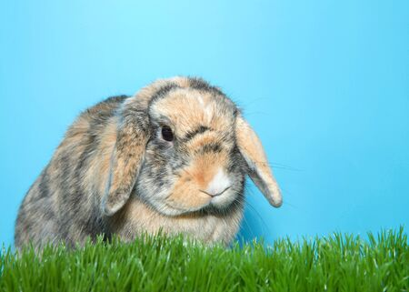 Profile Portrait of a small calico lop eared bunny rabbit in green grass with blue background, looking to viewers right.