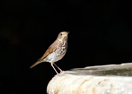 one wood thrush (Hylocichla mustelina) a North American passerine bird, perched on the side of a bird bath looking at viewer