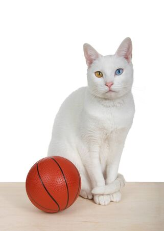 White cat with heterochromia sitting on a light wood floor with a miniature basketball, looking at viewer, isolated. Vertical format.
