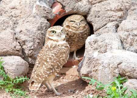 Two burrowing owls nesting in an old drainage tunnel. One owl perched inside opening peaking out, one standing outside looking slightly to viewers right.
