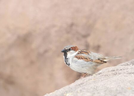 male house sparrow, a bird of the sparrow family Passeridae, found in most parts of the world, perched on rocks in the Arizona desert.