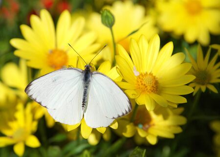Great southern white butterfly on yellow daisies, top view Archivio Fotografico