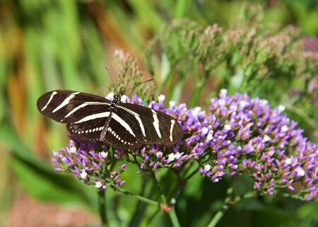 Heliconius charithonia, the zebra longwing or zebra heliconian butterfly drinking nectar from small purple flowers, top view