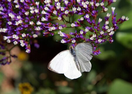 Great southern white butterfly on purple flowers, drinking nectar. Top view