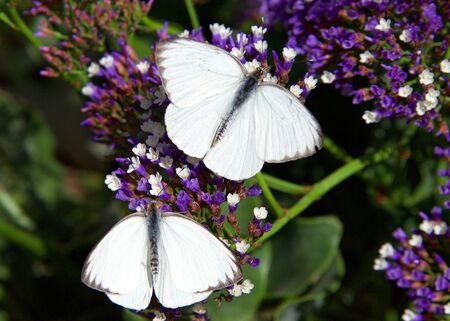 Two Great southern white butterflies on purple flowers, drinking nectar. Top view Archivio Fotografico - 143060101