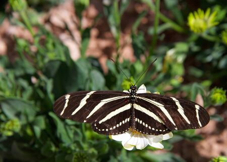Zebra Long wing butterfly resting on white daisy, top view