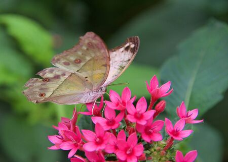 Forest Mother of Pearl butterfly on magenta pink flowers drinking nectar from magenta pink flowers