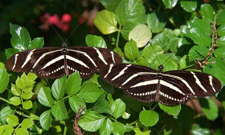 Two Zebra Long wing butterfly resting side by side on green leaves, top view Archivio Fotografico