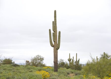 Desert landscape with saguaro cactus, a tree-like cactus species in the monotypic genus Carnegiea, which can grow to be over 40 feet tall. Typical Arizona landscape, storm clouds in background. Archivio Fotografico