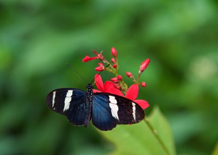 The Sara longwing is a colorful species of neotropical heliconiid butterfly found from Mexico to the Amazon Basin and southern Brazil. Drinking nectar from red flowers.