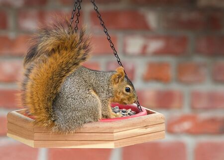One brown squirrel on bird feeder chowing down eating. Profile view with red brick wall in background. Backyard nature Archivio Fotografico