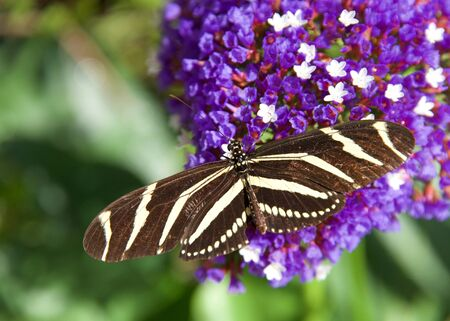 Zebra Long wing butterfly resting on purple and white flowers, top view Archivio Fotografico - 143060193