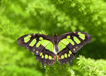 green and brown butterfly, Siproeta staleness, or Malachite Neotropical butterfly on bright green ferns
