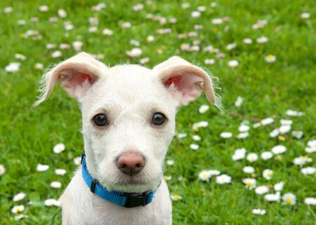 Portrait of an adorable terrier mix cream and tan colored puppy sitting in green grass with daisies in the background. Attentive expression. Archivio Fotografico