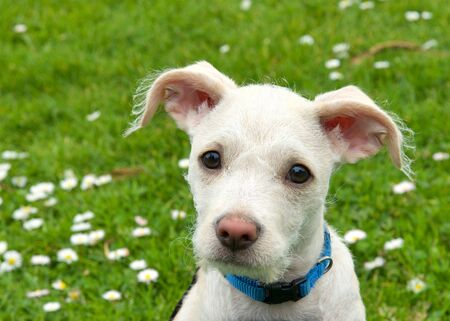 Portrait of an adorable terrier mix cream and tan colored puppy sitting in green grass with daisies in the background. Quizzical expression. Archivio Fotografico