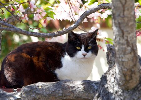 Black and white cat resting on a brick wall next to a tree blooming with pink and white flowers, looking at viewer.