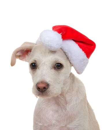 Close up portrait of an adorable cream and tan colored terrier puppy, 4 months old, wearing a Santa hat looking sideways at viewer. Isolated on white background. Archivio Fotografico