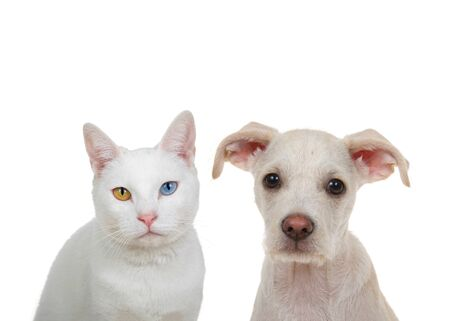 Close up portrait of a white cat with heterochromia, odd eyes, looking directly at viewer with intense stare sitting next to adorable cream and tan terrier puppy. Isolated on white background. Archivio Fotografico
