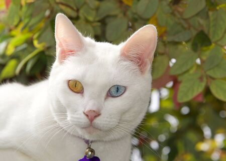 Portrait of a white cat with heterochromia, odd eyes, wearing a collar looking at viewer. Leaves of bush in background. Archivio Fotografico