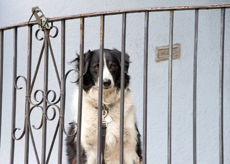 Medium sized black and white long haired dog sitting on a porch looking out through bars of railing. Leash clipped to railing.