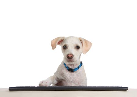 Close up of a terrier puppy sitting at a wood table with computer keyboard, paw on keys, looking directly at viewer as if looking at computer monitor. Humorous animal antics.