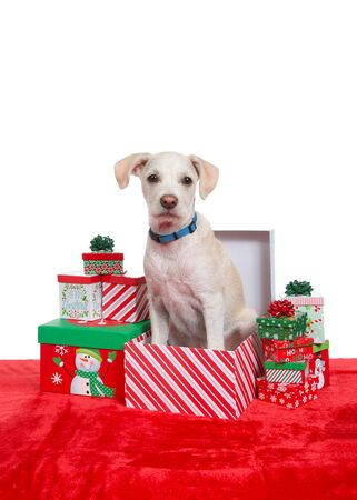 Portrait of an adorable terrier puppy sitting in a Christmas present box surrounded by small colorful holiday presents. Fun animal xmas theme.