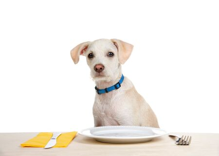 Close up on an adorable terrier puppy sitting at a wood table with empty plate, fork and knife with napkin. Looking at viewer with sideways caulk of the head waiting with anticipation. Animal antics. Archivio Fotografico