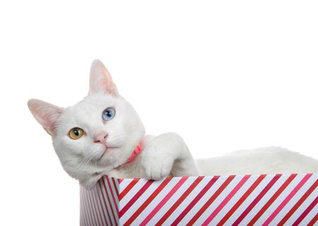 Close up portrait of a white cat with heterochromia, odd eyes, wearing a pink collar with bell. Laying in a red and white stripped box, paw up reaching towards viewer. Archivio Fotografico