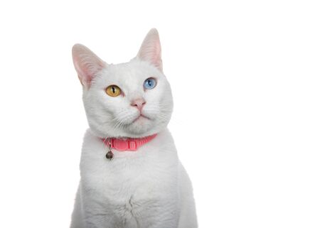 Close up portrait of a white cat with heterochromia, odd eyes, wearing a pink collar with bell. Looking slightly up to viewers right with curious expression.