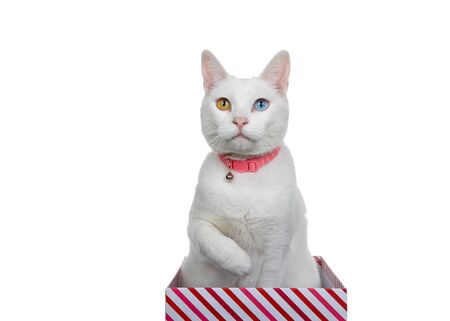 Close up portrait of a white cat with heterochromia, odd eyes, wearing a pink collar with bell. Sitting in a red and white stripped box, paw up towards chest ready to reach.