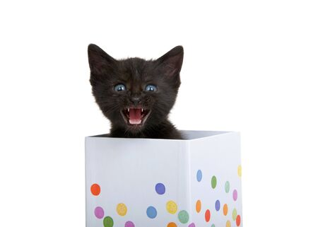 Adorable tiny black kitten with blue green eyes peaking out of a small white present box with pastel dots, mouth open as if talking or singing. Isolated on white.  Archivio Fotografico