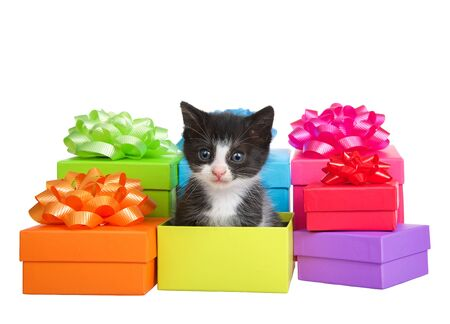 Tiny tuxedo kitten sitting in a box in piles of small colorful bright holiday presents with ribbons and bows isolated on white background. Birthday, anniversary, Mother's Day, etc theme'd Archivio Fotografico