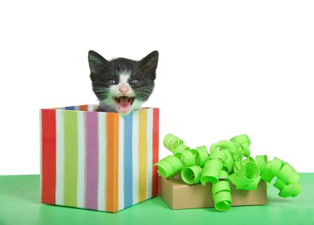 Adorable tuxedo black and white kitten peaking out of a festive striped present, lid with green curly bow off to side sitting on a green table. Isolated on white. Kitten meowing, looking at viewer. Stock Photo