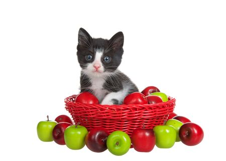 Close up portrait of an adorable black and white tuxedo kitten, looking directly at viewer. Sitting in red woven basket filled with red and green tiny apples, isolated on white.