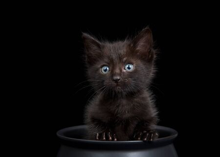 Close up Tiny black kitten sitting in a black cauldron on black background, looking directly at viewer with light blue eyes. Animal antics fun Halloween theme.
